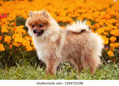Ginger puppy dog on the grass in flowers