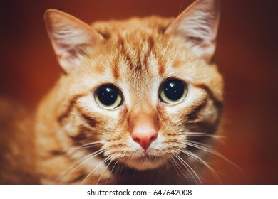 Ginger Red Cat Close Up