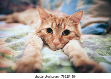 Ginger Red Cat on the Bed