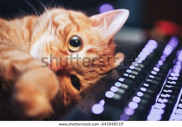 コンピューターキーボードの接写に生姜の赤いかわいい猫