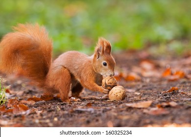 Ginger squirrel with nuts