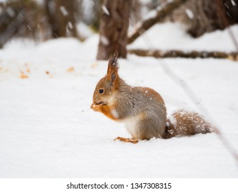 Ginger squirrel sits on snow in the winter forest. Curious rodent eating a nut.
