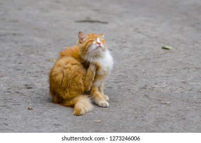ginger stray kitten sits and itches