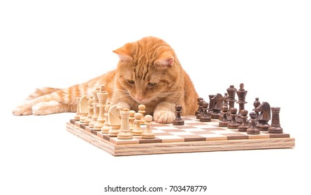 Ginger tabby cat carefully observing his pieces on a chessboard, isolated on white
