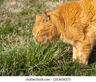 Ginger tabby cat eating grass outdoors, to induce vomit and get hairballs out of his stomach