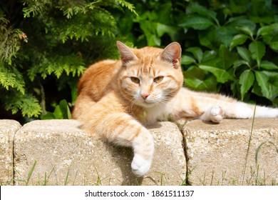 Ginger tabby cat lying in the sun on stone ridge in garden