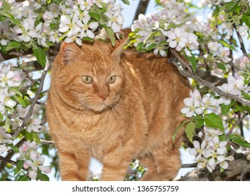Ginger tabby cat on an adventure in a flowering apple tree in spring, surrounded by blooms