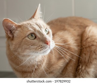 Ginger tabby cat sitting in front of tiles in the kitchen and looking up and to the right in a worried way