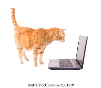 Ginger tabby cat standing in front of a laptop computer, looking at the screen, isolated on white