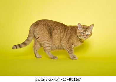 Ginger tabby cat in studio on yellow background