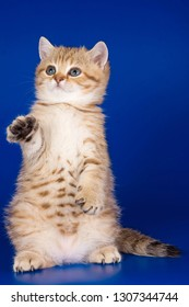 ginger tabby kitty British cat stands on its hind legs on a blue background
