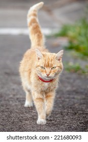 Ginger tabby with white patches and red collar walking proudly down the sidewalk with tail held upright
