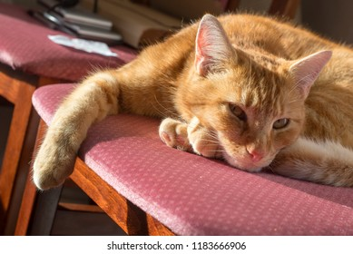 A ginger tom cat snoozing in the afternoon sunshine on a dining chair