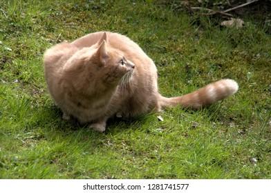 Ginger tomcat investigating suspicious movement on lawn