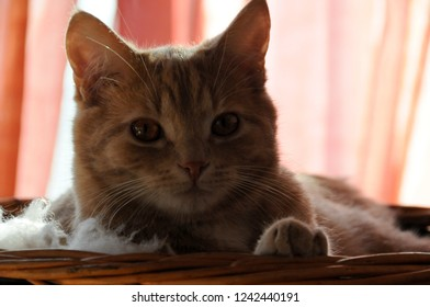 Ginger tomcat in wicker basket
