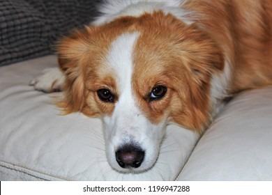 Ginger and white, adult, Border Collie bitch.