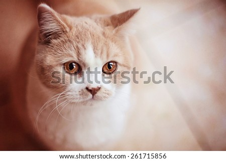 ginger and white cat with amber eyes close up