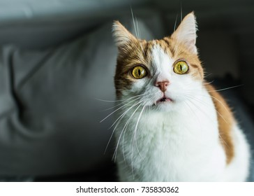 Ginger and white cat with funny dramatic expression, bulging yellow eyes and vampire fangs looking into lenses