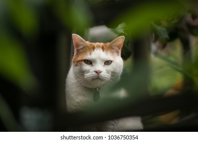 A ginger and white cat looking direcly at the camera framed by green foliage