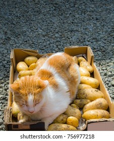Ginger and white cat on tray of harvested potatoes.