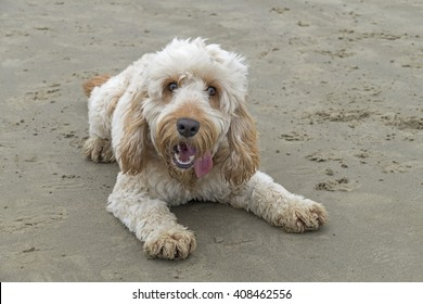 A ginger and white Spoodle laying on the sand