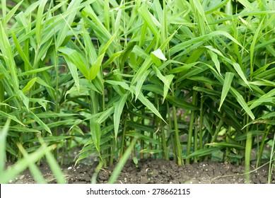 Ginger, Zingiber officinale, crop, farm, Salunkwadi, Ambajogai, Beed, Maharashtra, India