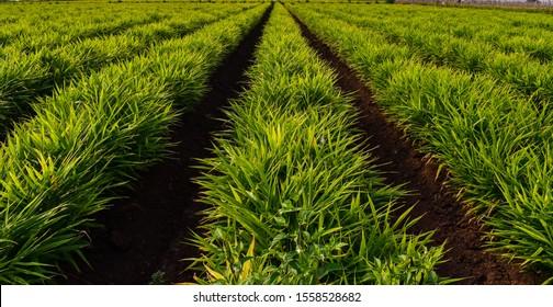 Ginger (Zingiber officinale) field. Ginger crop. Farming of Ginger.