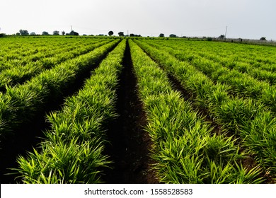 Ginger (Zingiber officinale) field. Long rows. Ginger crop. Farming of Ginger.