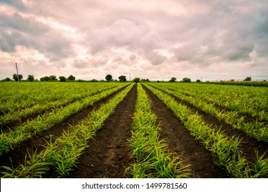Ginger (Zingiber officinale) field with sky. Long rows. Ginger crop. Farming of Ginger.