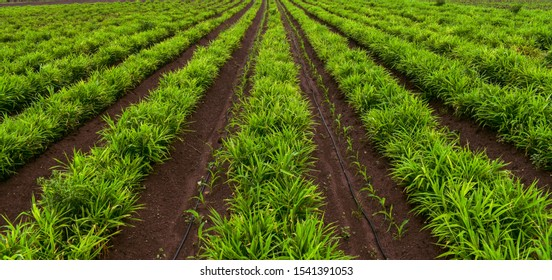 Ginger (Zingiber officinale) intercropping with Maize (Zea mays L)or corn crop.  Beautiful agricultural field. Ginger field.