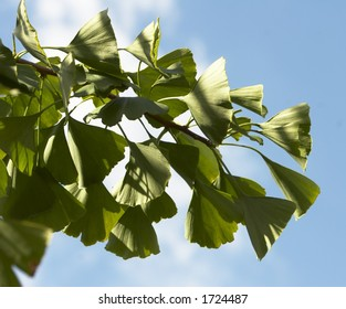Gingko biloba foliage from Japan