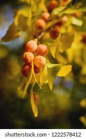 Gingko biloba leaves and fruit