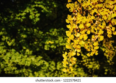 Gingko biloba leaves and fruit