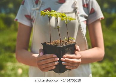 Gingko biloba small trees in the pot in hands
