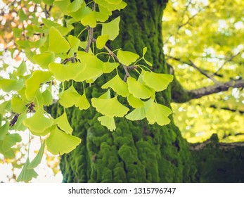 Gingko green Leafs Park Tree outdoor Nature Background