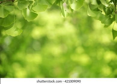 gingko leaf, green background, gingko leaf, ginkgo green leaves on a tree