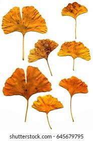 Gingko leaves; leaves of Gingko Biloba tree, isolated on white ground