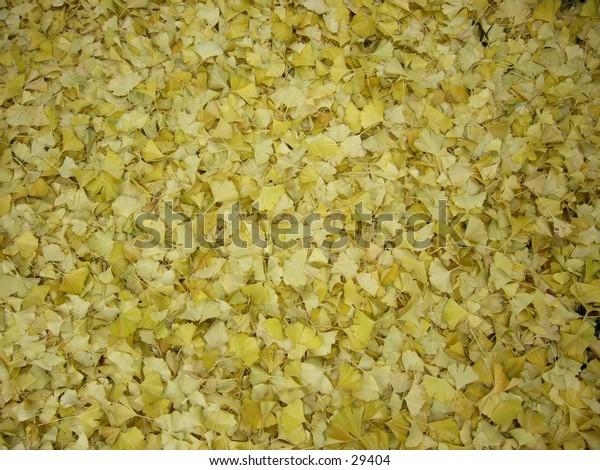 Gingko leaves carpeting the ground.