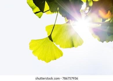 Gingko leaves hit by light