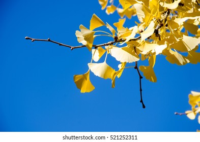 Gingko Leaves in sunny day. Selective focus.