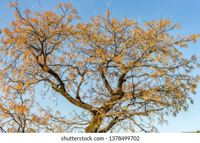 Gingko tree with bright orange leaves, seen against clear blue sky in winter, at Kurashiki, Japan. This tree is also known as ginkgo biloba, ginkgo or the maidenhair tree.