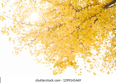 Ginkgo in backlight in autumn, low angle shot.