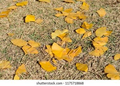 Ginkgo biloba autumn leaves, ginkgo or gingko, maidenhair tree in autumn forest fallen on the ground, autumnal background.