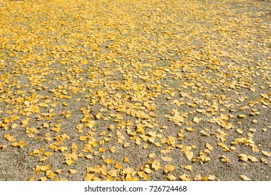 Ginkgo biloba autumn leaves as yellow carpet, ginkgo or gingko, maidenhair tree in autumn forest fallen on the ground, autumnal background.