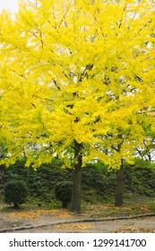 Ginkgo biloba in autumn, shot in Osaka castle park, Osaka, Japan.