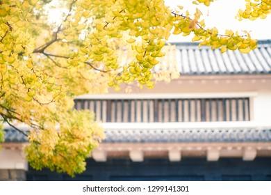 Ginkgo biloba in autumn sunlight, shot in Osaka castle park, Osaka, Japan.