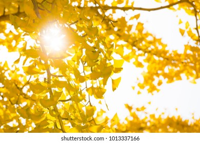 Ginkgo biloba, commonly known as ginkgo or gingko, also known as the ginkgo tree or the maidenhair tree, the only living species in the division Ginkgophyta, in autumn