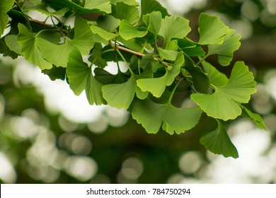 Ginkgo biloba, commonly known as ginkgo or gingko also known as the ginkgo tree or the maidenhair tree, is the only living species in the division Ginkgophyta, all others being extinct.