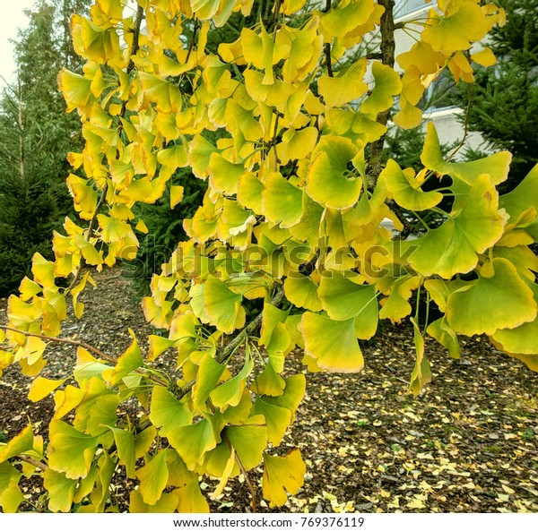 ginkgo biloba foliage, changing from green to yellow, transition to autumn colours