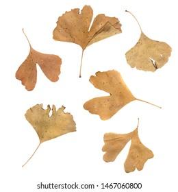 Ginkgo biloba foliage, old herbarium, set of leaves